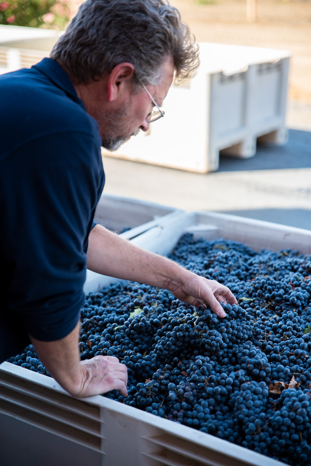 Quady Winemaker Darin Peterson handles and examines bunches of wine grapes soon to be crushed.