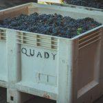 Quady bin full of grapes
